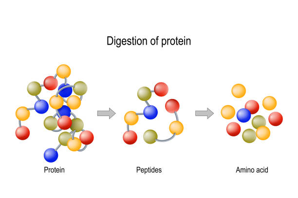 Digestion of Protein. Enzymes (proteases and peptidases), peptides and amino acids Digestion of Protein. Enzymes (proteases and peptidases) are digestion breaks the protein into smaller peptide chains and into single amino acids, which are absorbed into the blood amino acid stock illustrations