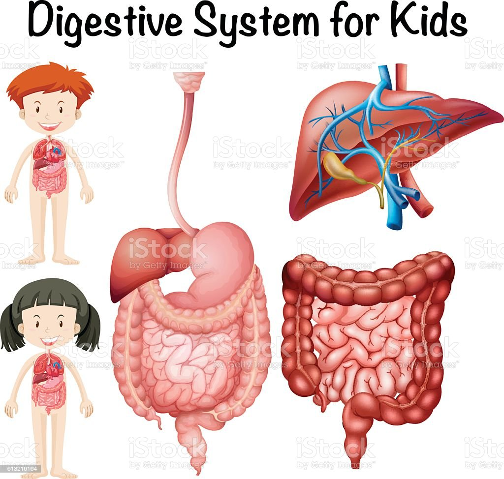 Digestive system for kids vector art illustration