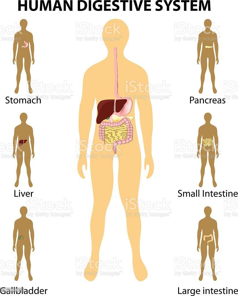 Ilustración de Sistema Digestivo órganos Que Se Destaca En La ...