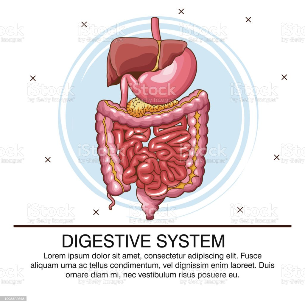 Digestive System Poster Stock Vector Art More Images Of Abdomen
