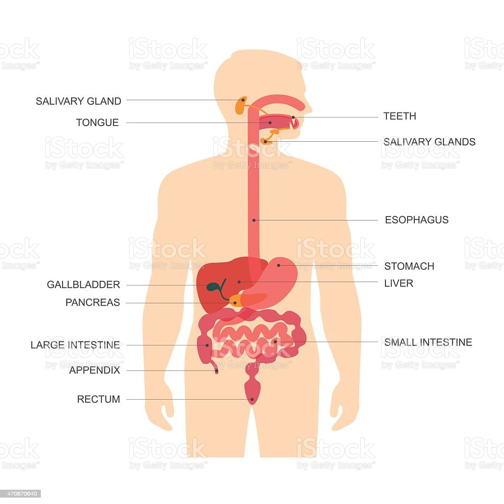 digestive system, vector art illustration