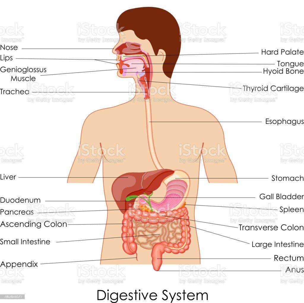 Ilustración de Sistema Digestivo y más banco de imágenes de Anatomía ...