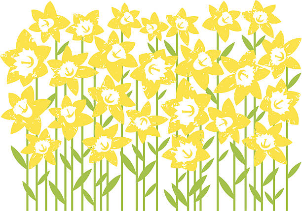 Digital artwork of a field of daffodils isolated on white EPS 10 Vector illustration of a field of Daffodils.  daffodil stock illustrations
