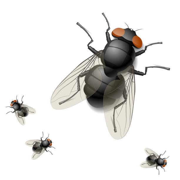 Digital rendering image of one big and three tiny houseflies Vector detailed illustration of a housefly fly insect stock illustrations
