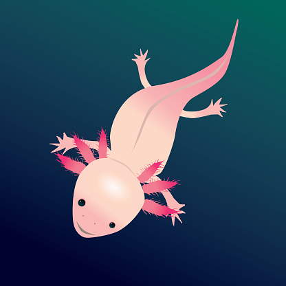 A digital vector drawing of an axolotl.