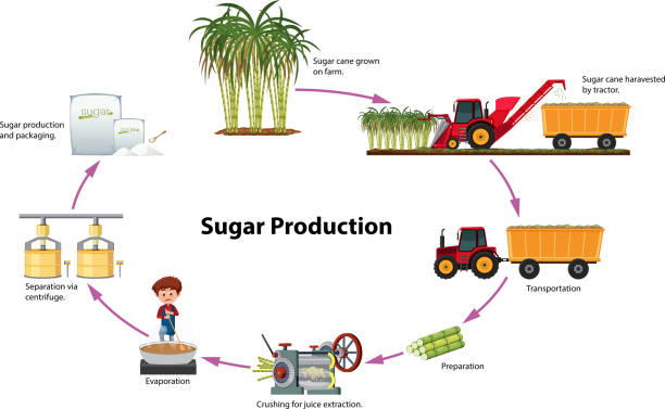 Best Sugar Plant Illustrations, Royalty-Free Vector Graphics & Clip