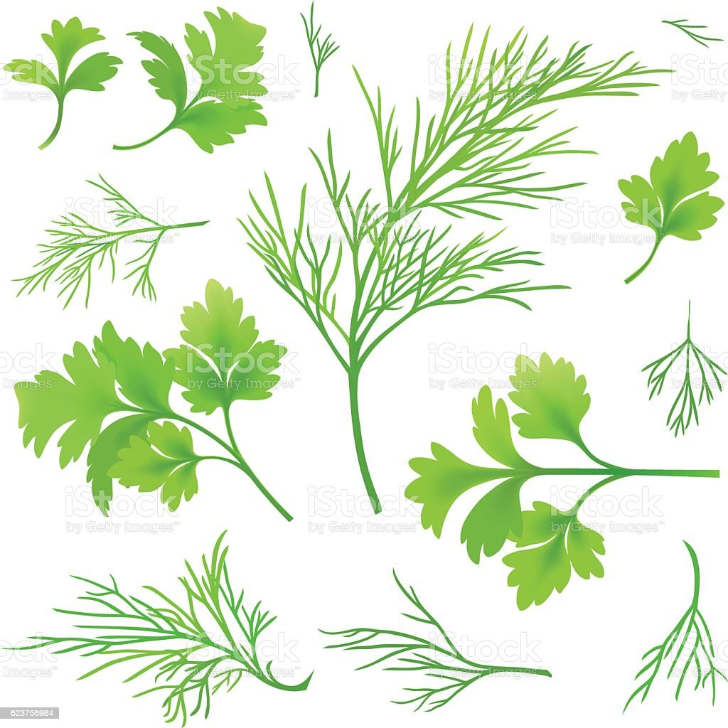 Dill and parsley vector art illustration
