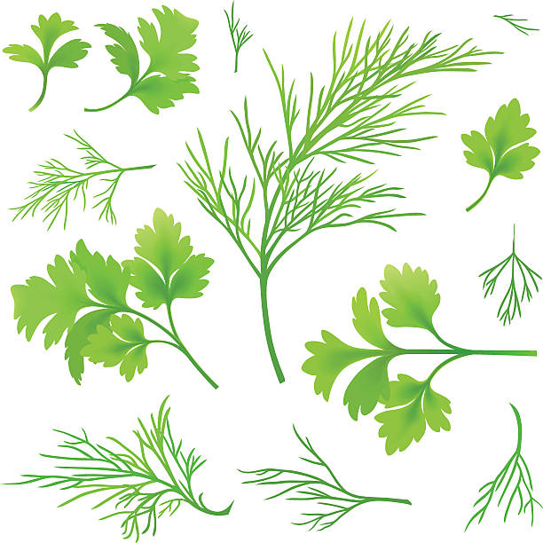 Dill and parsley Vector twigs of dill and parsley dill stock illustrations