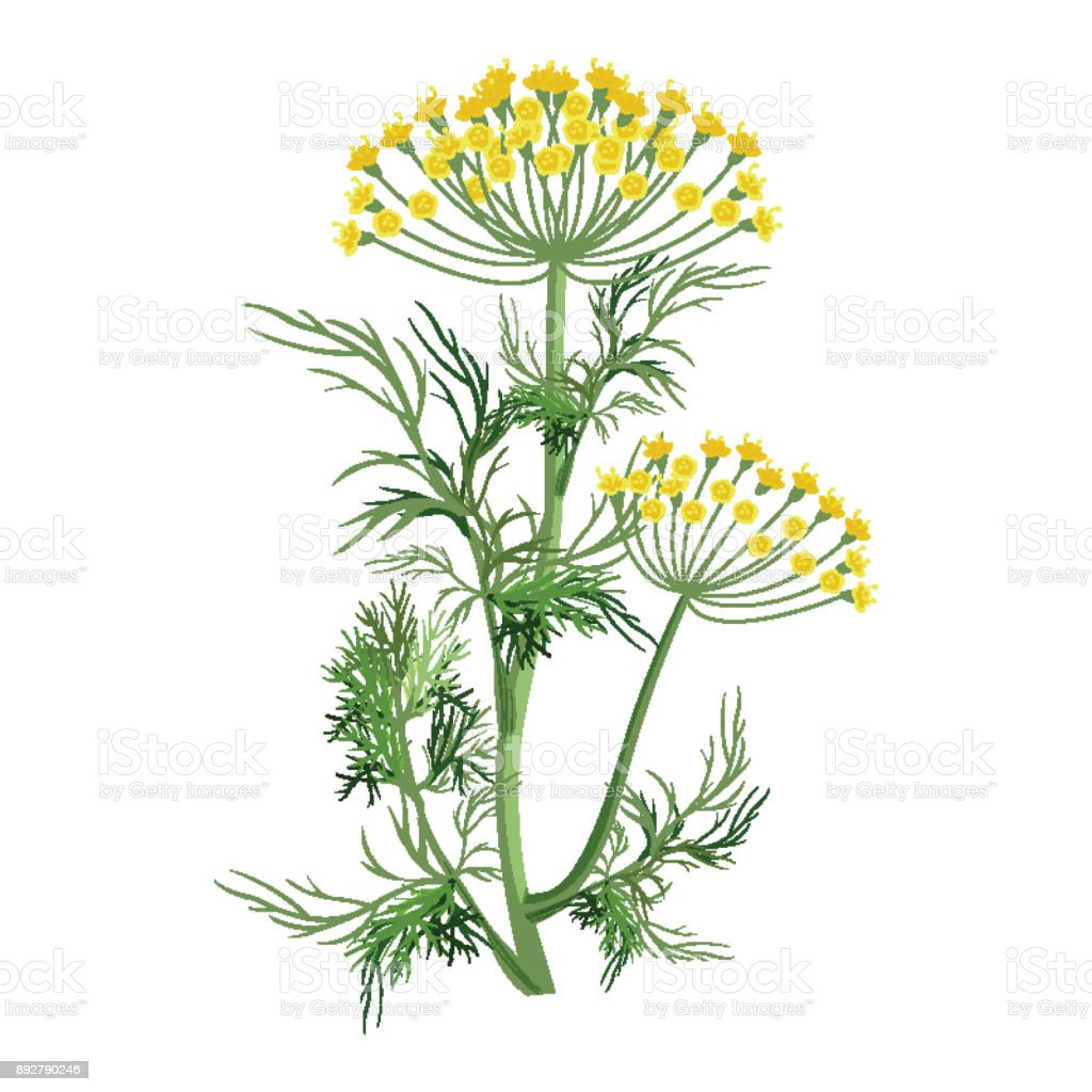 Dill herb with small yellow bloom and green stem vector art illustration