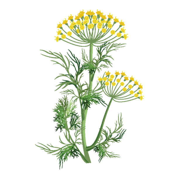 Dill herb with small yellow bloom and green stem Dill herb with small yellow bloom, green stem and leaves that used as seasoning for dishes isolated cartoon vector illustration on white background. dill stock illustrations
