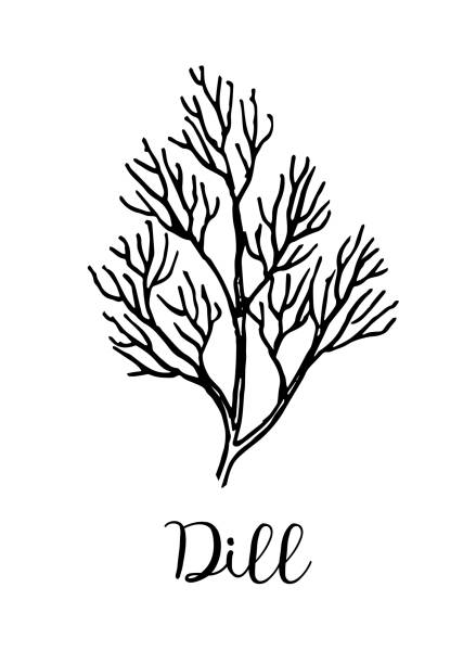 Dill ink sketch. Dill ink sketch. Isolated on white background. Hand drawn vector illustration. Retro style. dill stock illustrations