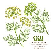dill plant vector set on white background