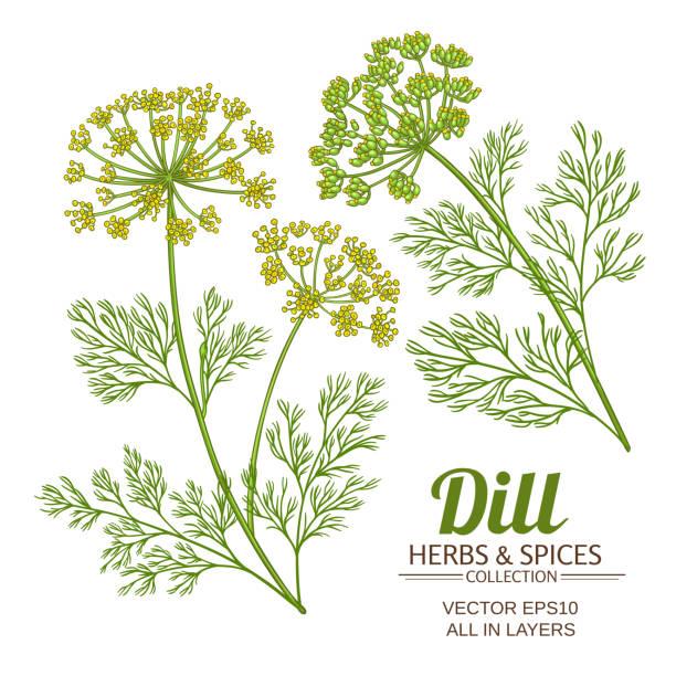 dill plant vector set dill plant vector set on white background fennel stock illustrations