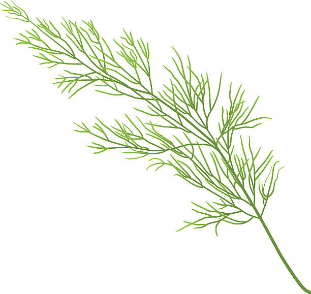 dill sprig of dill isolated on white background dill stock illustrations