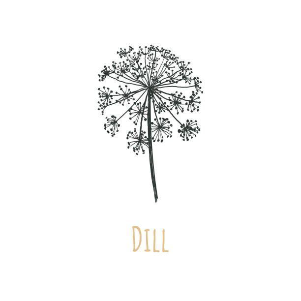Dill vector illustration. Blooming dill. Dill seeds. Dill vector illustration. Blooming dill. Dill seeds. Caraway. dill stock illustrations