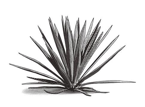 Engraving illustration of blue agave plant
