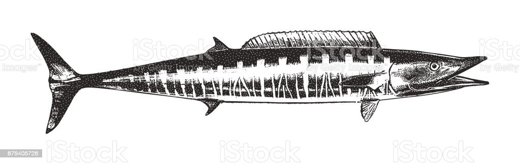 Discovering Mexico. Great Barracuda. vector art illustration