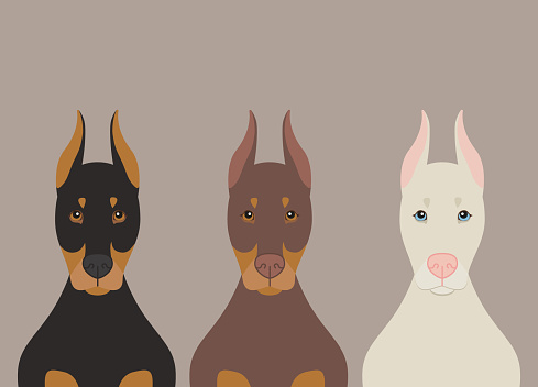 Doberman Pinscher dogs vector illustration on light beige background. Purebred dogs in black, brown and albino phenotypes