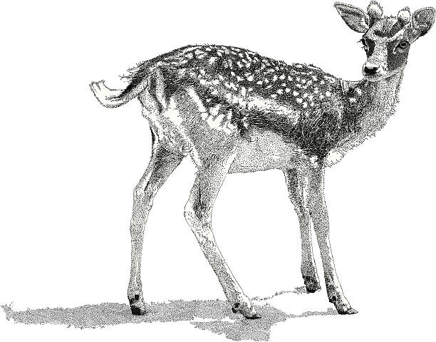 Best Fawn Illustrations, Royalty-Free Vector Graphics ...