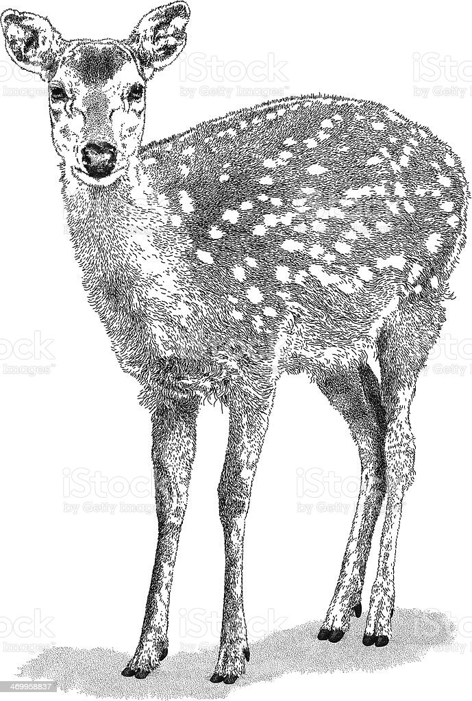 Biche - Illustration vectorielle