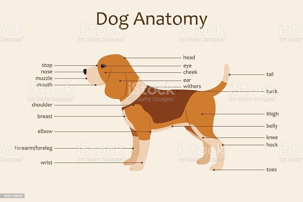 Dog Anatomy Stock Vector Art & More Images of Anatomy 603179978 | iStock