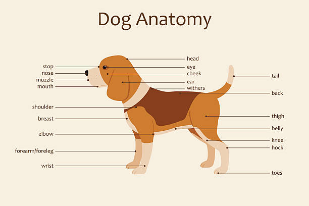 Royalty Free Dog Anatomy Clip Art, Vector Images & Illustrations ...