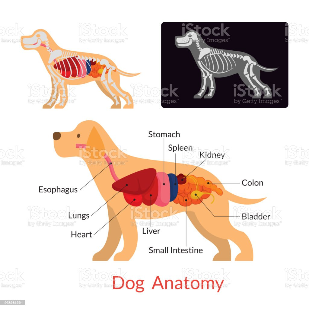 Dog Anatomy vector art illustration