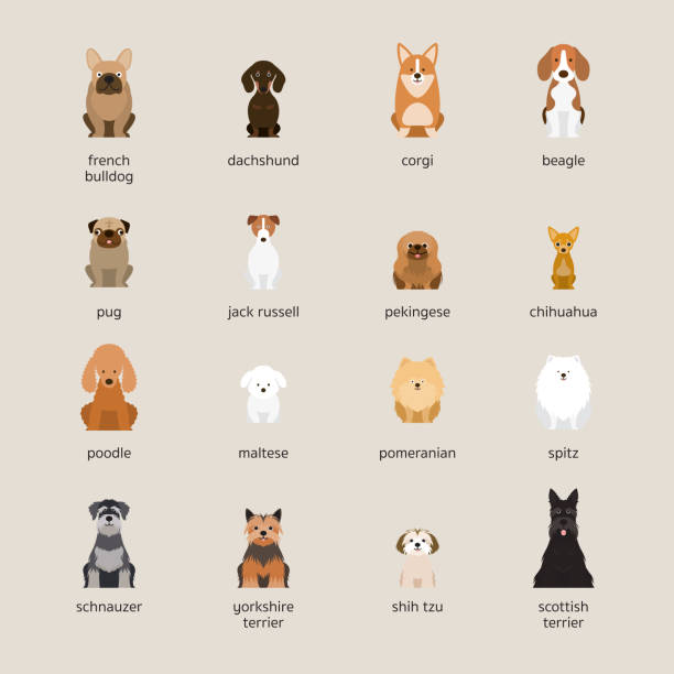 Dog Breeds Set, Small and Medium Size Front View, Vector Illustration poodle stock illustrations