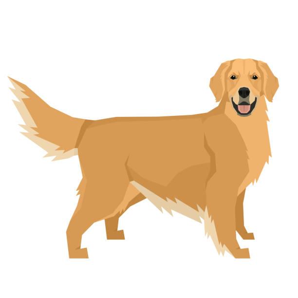 illustrazioni stock, clip art, cartoni animati e icone di tendenza di dog collection golden retriever geometric style isolated object - golden retriever