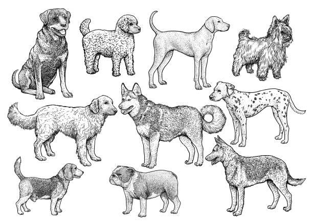 hund sammlung abbildung, zeichnung, gravur, tinte, strichzeichnungen, vektor - vizsla stock-grafiken, -clipart, -cartoons und -symbole