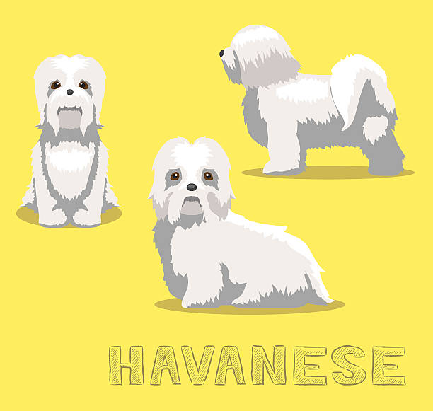 Best Havanese Illustrations, Royalty-Free Vector Graphics