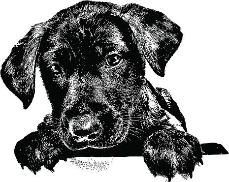 Dog. Puppy, Labrador