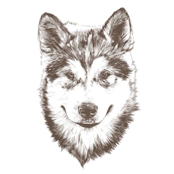 dog purebred Alaskan Malamute puppy head close-up – artystyczna grafika wektorowa