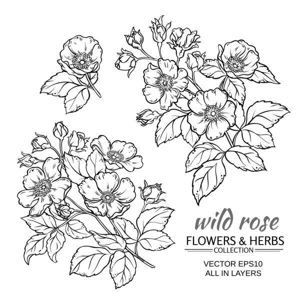 dog rose flowers vector set dog rose flowers vector set on white background wild rose stock illustrations