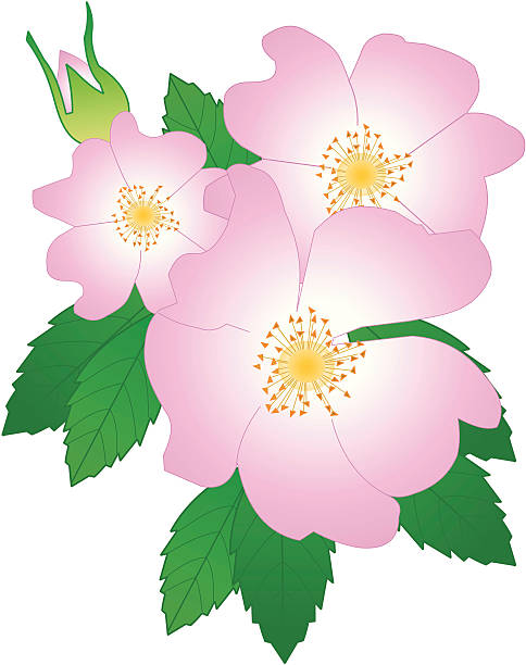 Dog Rose A wild English Rose, the source of all roses wild rose stock illustrations
