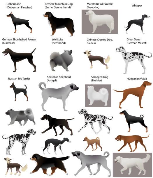 hundeausstellung - vizsla stock-grafiken, -clipart, -cartoons und -symbole