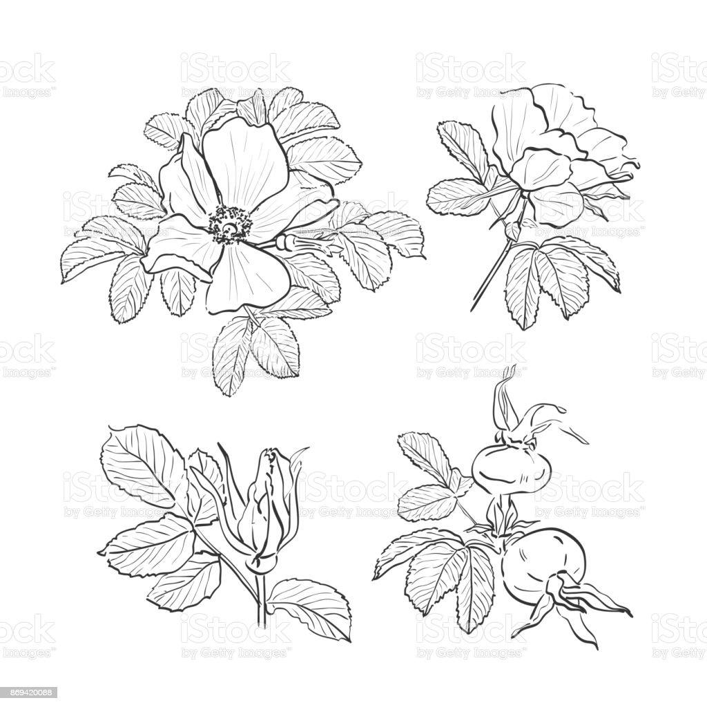 Köpekgül çizim çiçekler Vahşi Izole Gül çizilmiş Botanik çizim