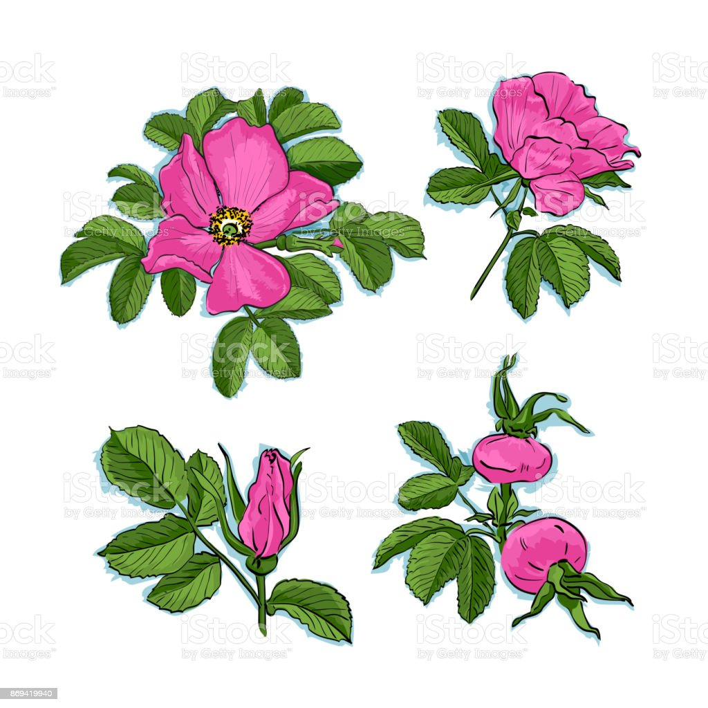 Dogrose Drawing Flowers Handdrawn Wild Rose Isolated Botanical ...