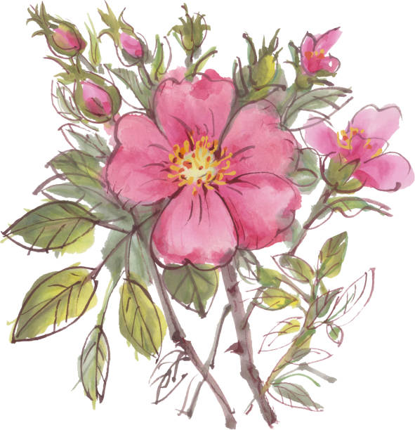 Dogrose Watercolor flowers  isolated on a white background. Dogrose. Vector illustration. wild rose stock illustrations