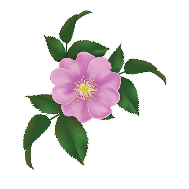 dog-rose realistic vector illustration wild rose stock illustrations
