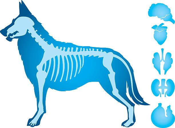 dogs body vector - animal skeleton stock illustrations
