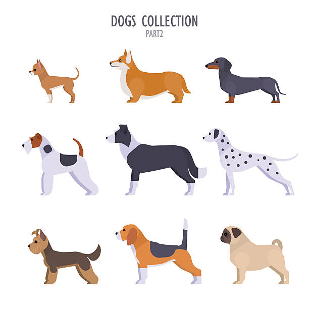 Dogs collection Vector collection of  different dogs breeds - Toy Terrier, corgi, dachshund, border collie, terrier, Dalmatian, Pug, Beagle, Yorkshire Terrier, isolated on white. sheepdog stock illustrations