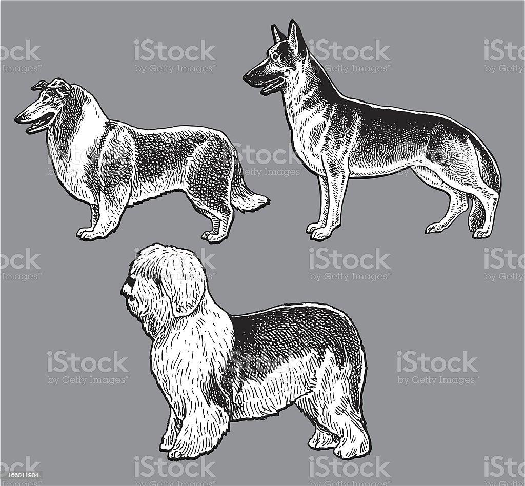 Dogs Herding Old English Sheep Dog Collie German Shepherd Stock
