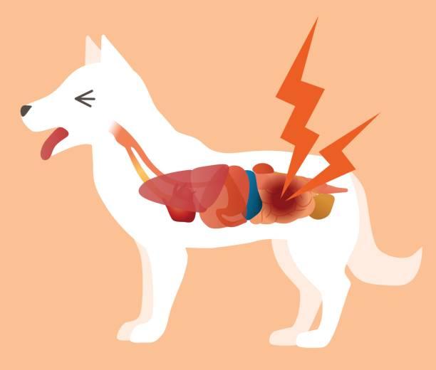 dog's organ and intestines disease, vector illustration dog's organ and intestines disease, vector illustration dog stomach stock illustrations