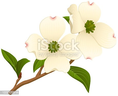 Vector illustration of a branch of a dogwood tree with two open flowers. Illustration uses linear and radial gradients and transparencies. Includes AI10-compatible .eps format, along with a high-res .jpg.