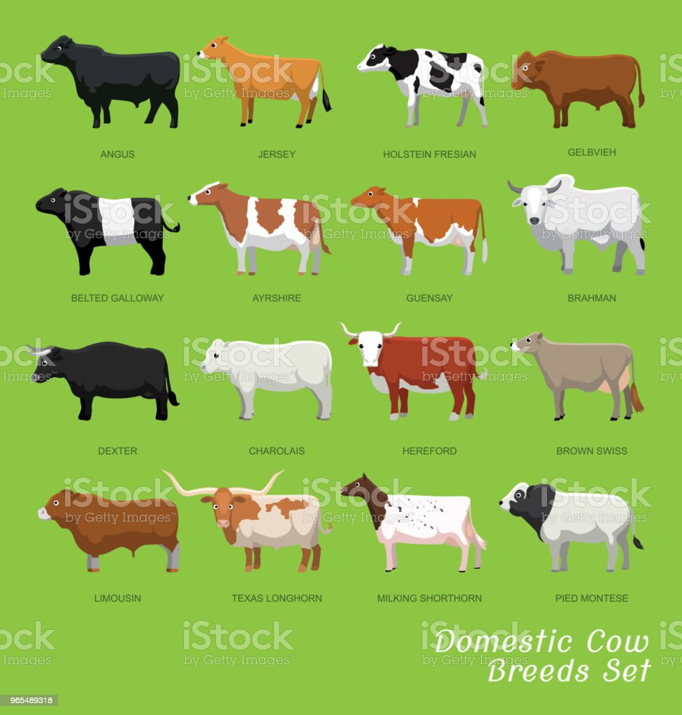 Domestic Cow Breeds Set Cartoon Vector Illustration vector art illustration