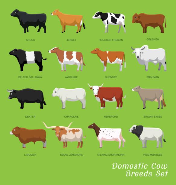 ilustrações de stock, clip art, desenhos animados e ícones de domestic cow breeds set cartoon vector illustration - beef angus