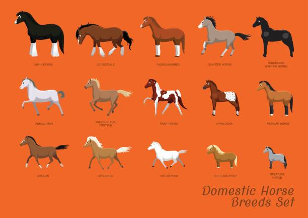 domestic horse breeds set cartoon vector illustration - pony stock illustrations