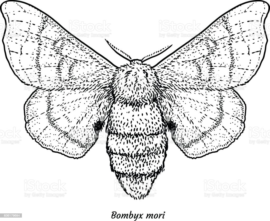 Domesticated Silk Moth Illustration Drawing Engraving Ink Line Art ...
