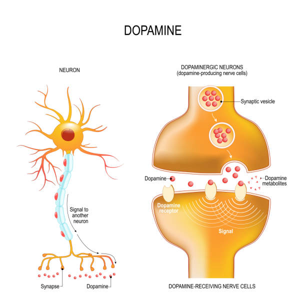 Dopamine. closeup presynaptic axon terminal, synaptic cleft, and dopamine-receiving nerve and dopamine-producing cells Dopamine. closeup presynaptic axon terminal, synaptic cleft, and dopamine-receiving nerve and dopamine-producing cells. Labeled diagram. Vector illustration for educational, biological, medical, and scientific use neurotransmitter stock illustrations